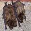 Bat Removal